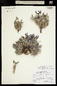 Image of Oxytropis podocarpa