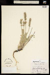 Image of Oxytropis splendens