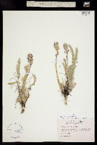 Oxytropis splendens image
