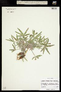 Pediomelum hypogaeum image