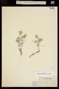 Pediomelum megalanthum image