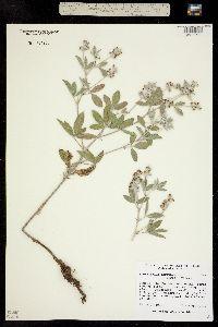 Psoralidium argophyllum image