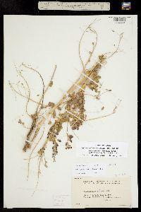 Sphaerophysa salsula image