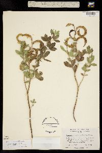 Thermopsis rhombifolia image