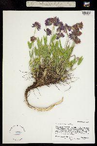 Trifolium attenuatum image