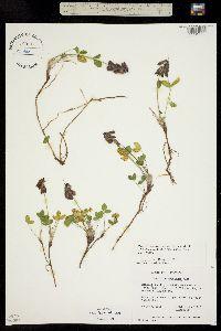 Image of Trifolium brandegei