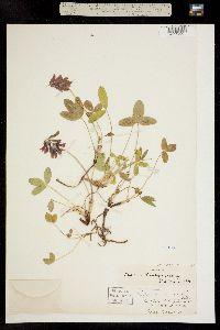 Trifolium brandegei image