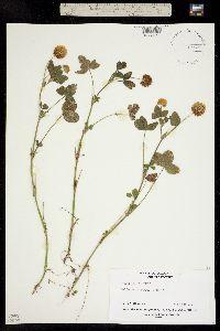 Trifolium hybridum image