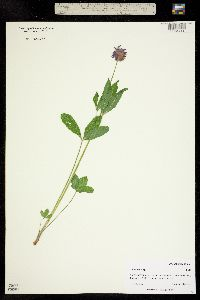 Image of Trifolium kingii