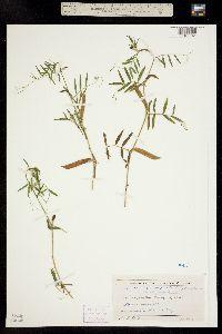 Image of Vicia angustifolia