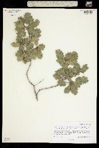 Quercus havardii var. tuckeri image
