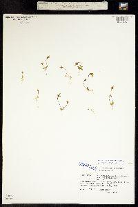 Gentianella tenella image