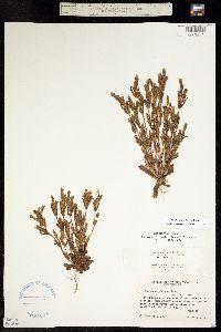 Gentianella amarella subsp. acuta image