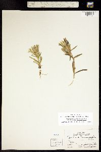 Gentiana algida image