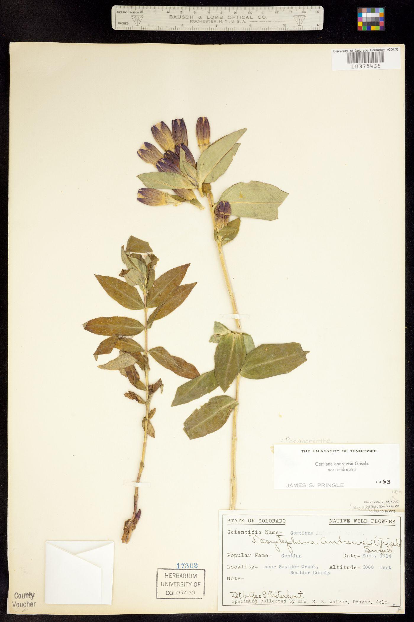 Pneumonanthe andrewsii image