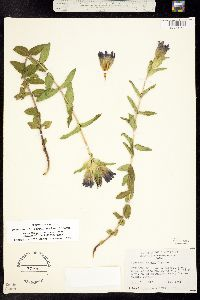 Pneumonanthe parryi image