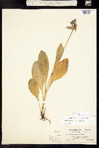 Swertia perennis image