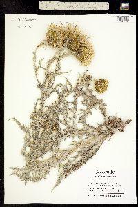 Image of Cirsium canescens
