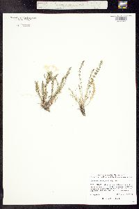 Image of Polemonium brandegei