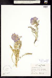 Polemonium confertum image