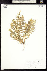 Polemonium pulcherrimum ssp. delicatum image