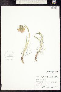Polemonium viscosum image