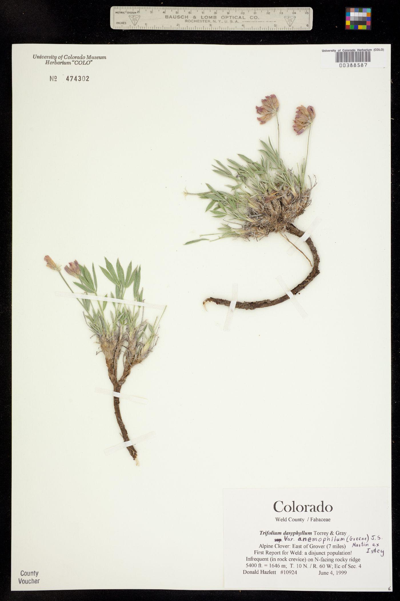 Trifolium dasyphyllum var. anemophilum image