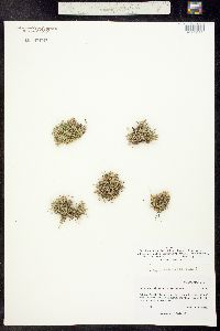 Minuartia rubella image