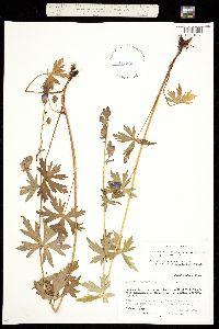 Aconitum columbianum image