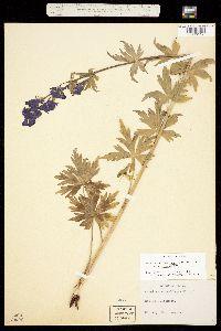 Aconitum columbianum var. columbianum image