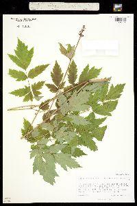 Actaea rubra ssp. arguta image