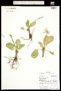 Caltha leptosepala var. leptosepala image