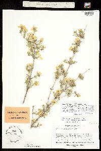 Image of Fendlera wrightii