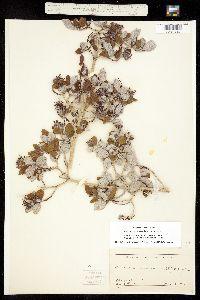 Jamesia americana image