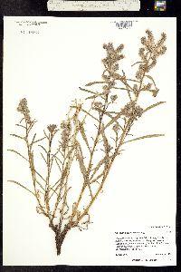 Oreocarya pustulosa image