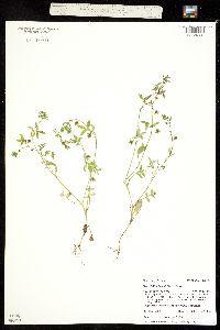 Image of Nemophila breviflora