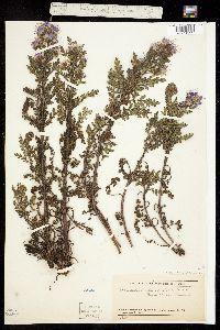Phacelia bakeri image