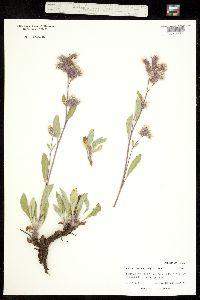 Phacelia hastata image