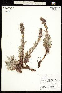 Image of Phacelia sericea