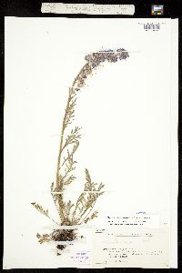 Phacelia sericea ssp. sericea image