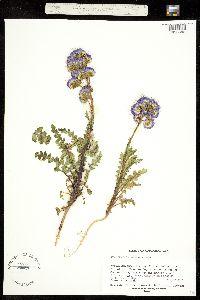 Phacelia splendens image