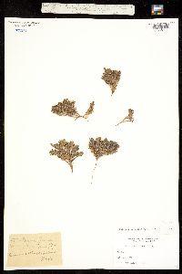 Image of Phacelia submutica