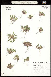 Phacelia scopulina image