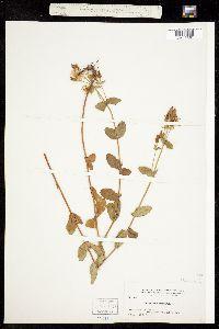 Hypericum formosum image