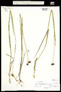Juncus tracyi image