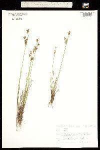 Juncus tweedyi image