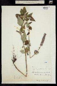 Image of Agastache foeniculum