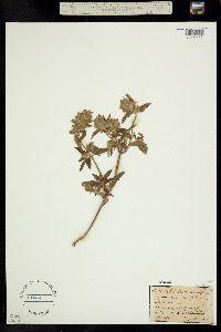 Dracocephalum parviflorum image
