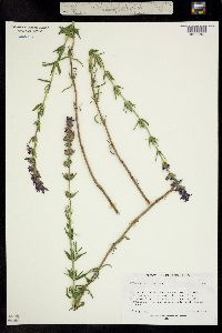 Image of Hyssopus officinalis