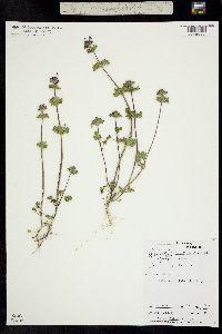 Image of Lamium amplexicaule